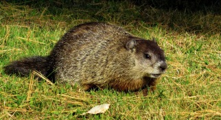 groundhog-1170875_1920
